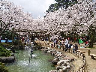 小丸山の桜